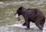 Сцена из фильма Гризли Аляски бросают вызов / Alaska's Grizzly Gauntlet (2018) Гризли Аляски бросают вызов сцена 1