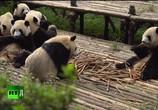 Сцена из фильма Панды. Сделано в Чэнду (2016) Панды. Сделано в Чэнду сцена 2