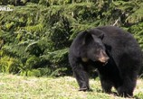 Сцена из фильма Гризли Аляски бросают вызов / Alaska's Grizzly Gauntlet (2018) Гризли Аляски бросают вызов сцена 3